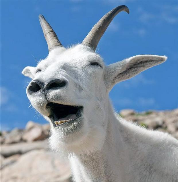 High Quality Laughing Goat Blank Meme Template