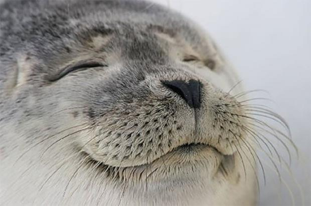 High Quality Satisfied Seal Blank Meme Template