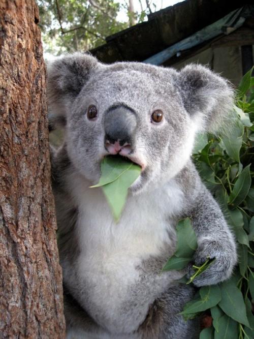https://imgflip.com/s/meme/Surprised-Koala.jpg